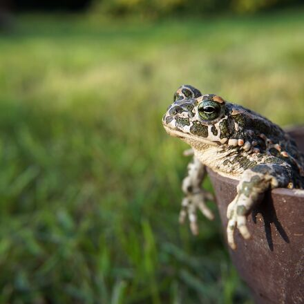 animal, frog, toad, Sony ILCE-3000