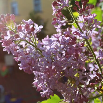 lilac, beauty, may, Canon EOS 6D