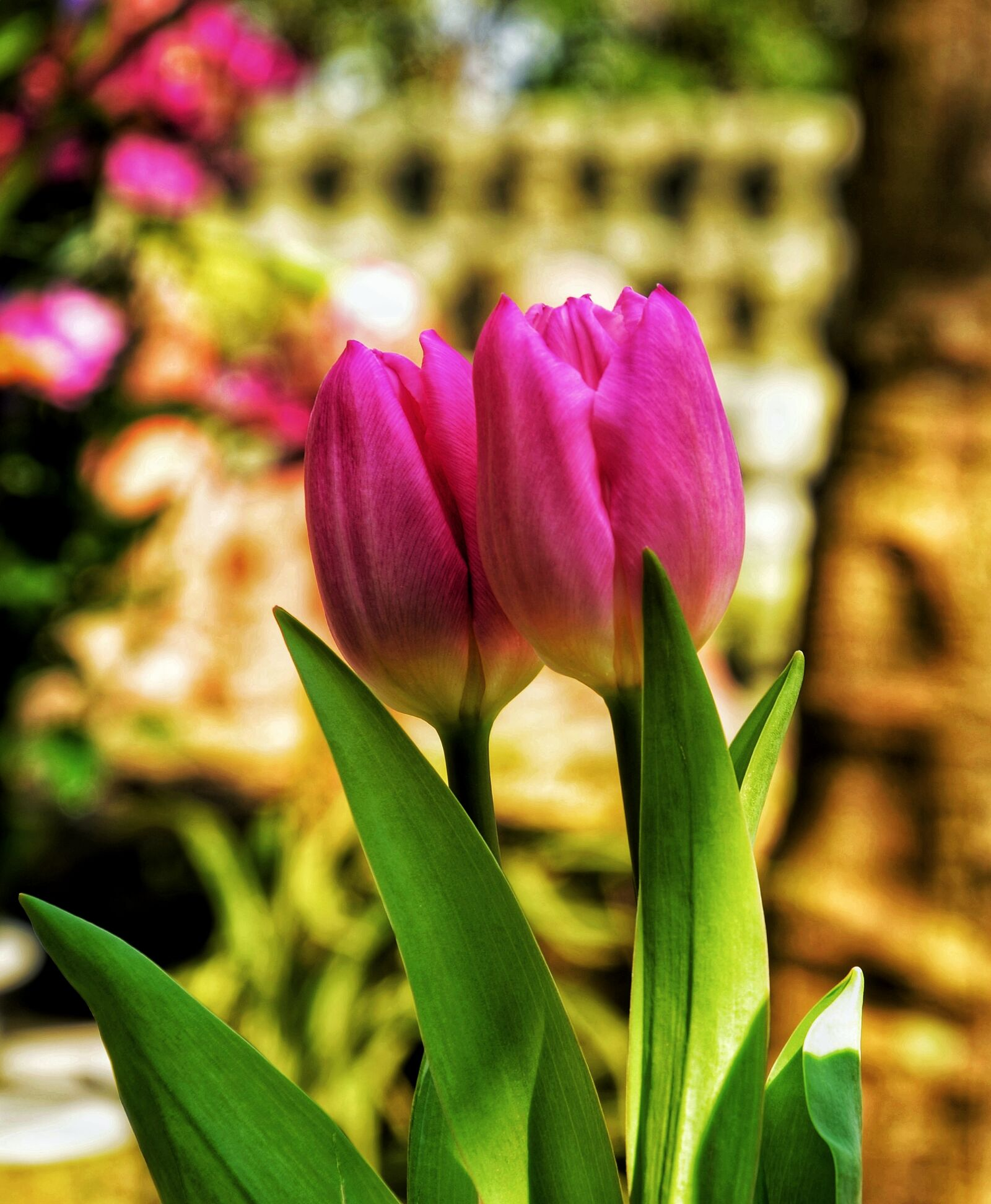 """Nikon D5100 sample photo. """"Two, pink, tulip, flowers"""" photography"""