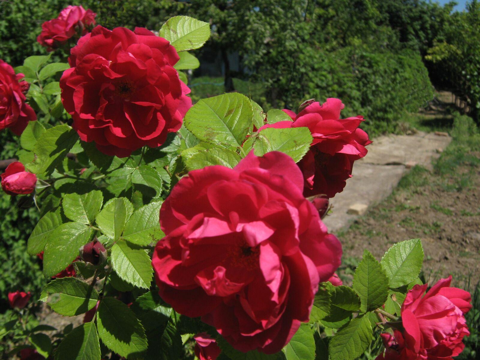 "Canon PowerShot A470 sample photo. ""Flowers, garden, summer"" photography"