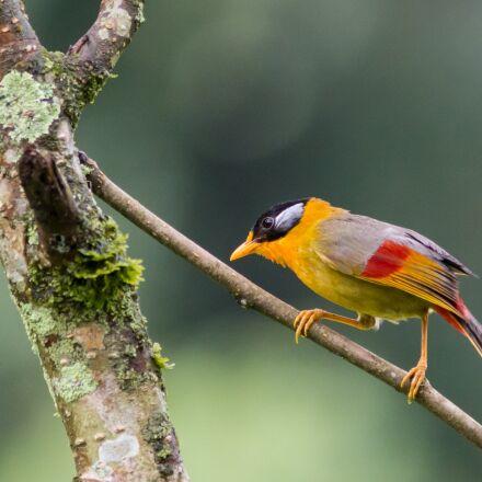 mesia, bird, nature, Canon EOS 70D