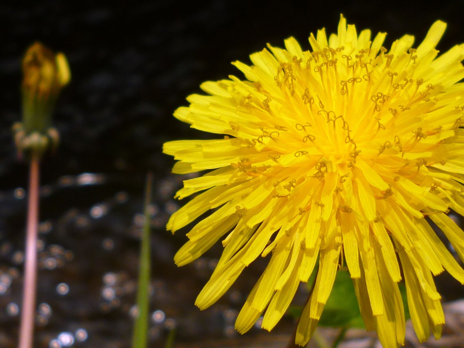 "Panasonic DMC-FH5 sample photo. ""Dandelion, natural, plant"" photography"