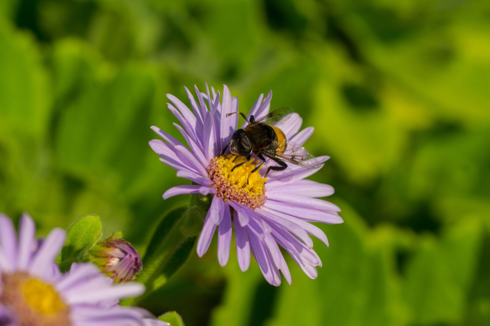 """Sony a6000 sample photo. """"Hoverfly, flowers, insects"""" photography"""