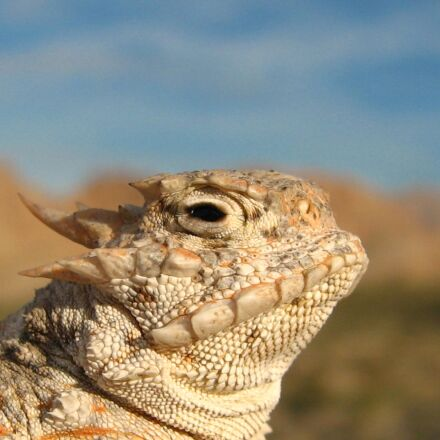 horned toad, lizard, camouflage, Canon POWERSHOT SD550
