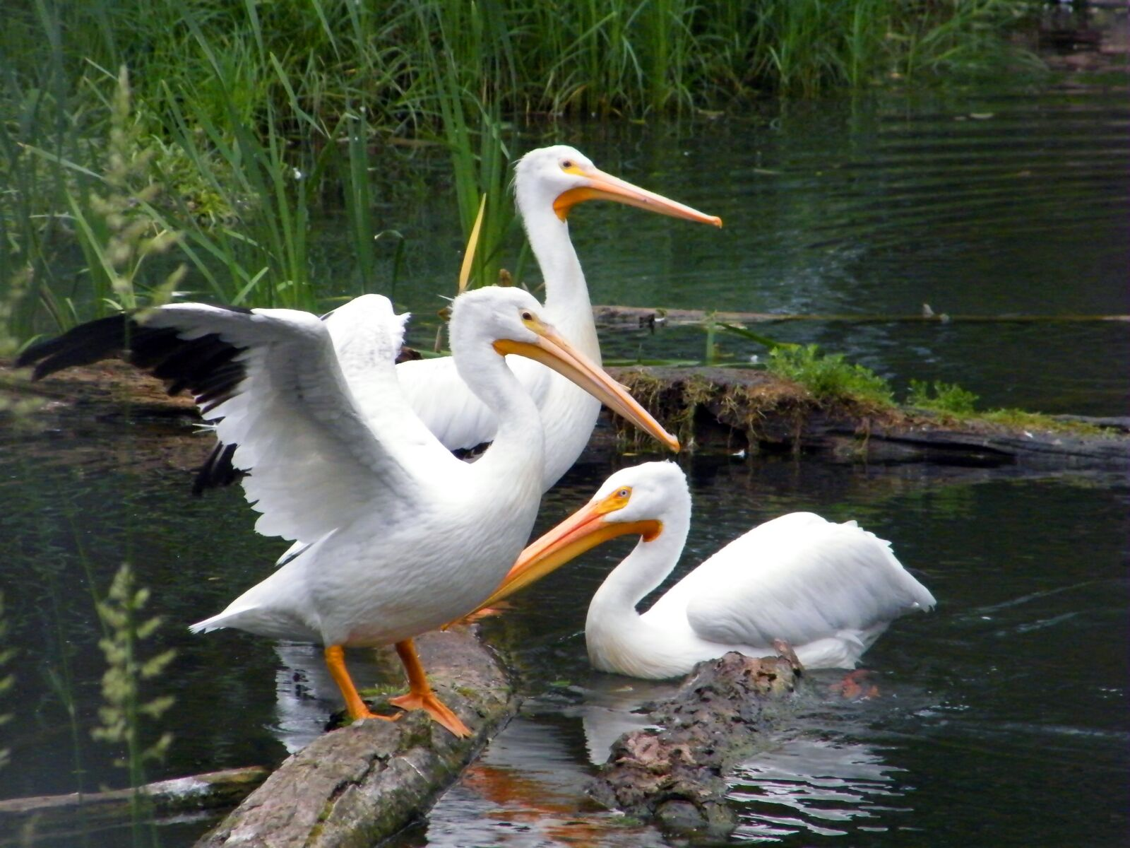 "Fujifilm FinePix S2000HD sample photo. ""Pelicans, water, bird"" photography"