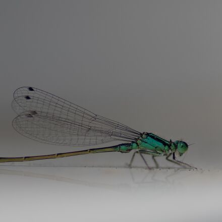 flying insect, demoiselle, dragonfly, RICOH PENTAX K-3