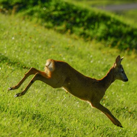 roe, animal, wild, Sony SLT-A65V