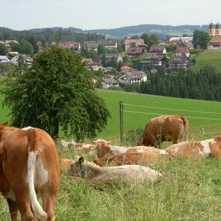 cow, landscape, germany, Nikon COOLPIX L5