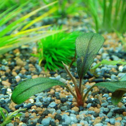bucephalandra, aquarium plant, aquarium, Nikon COOLPIX L330