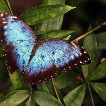 blue, and, black, butterfly, Canon EOS 70D