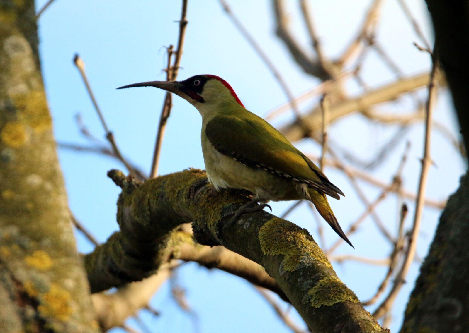"""Canon EOS 70D sample photo. """"Green woodpecker, bird, nature"""" photography"""