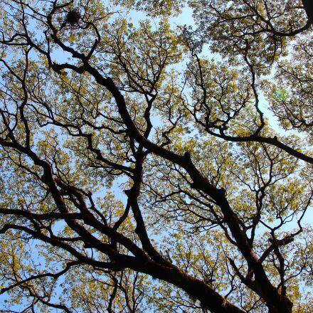 tree, top, crown, Canon EOS 600D