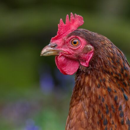 rooster, chicken, close up, Canon EOS 7D