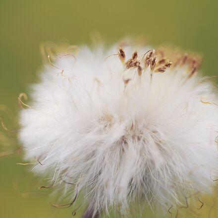 dandelion, flower, seed, Canon EOS 5D MARK II