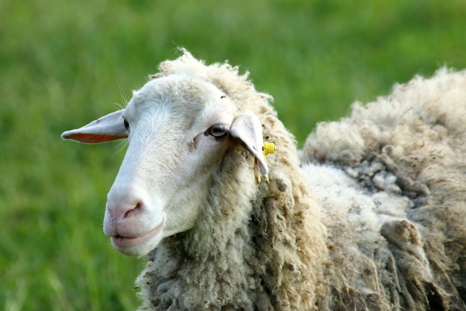 """Canon EOS 70D sample photo. """"Sheep, wool, flock"""" photography"""