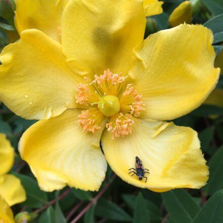 bug, yellow, flower, Apple iPhone 6s