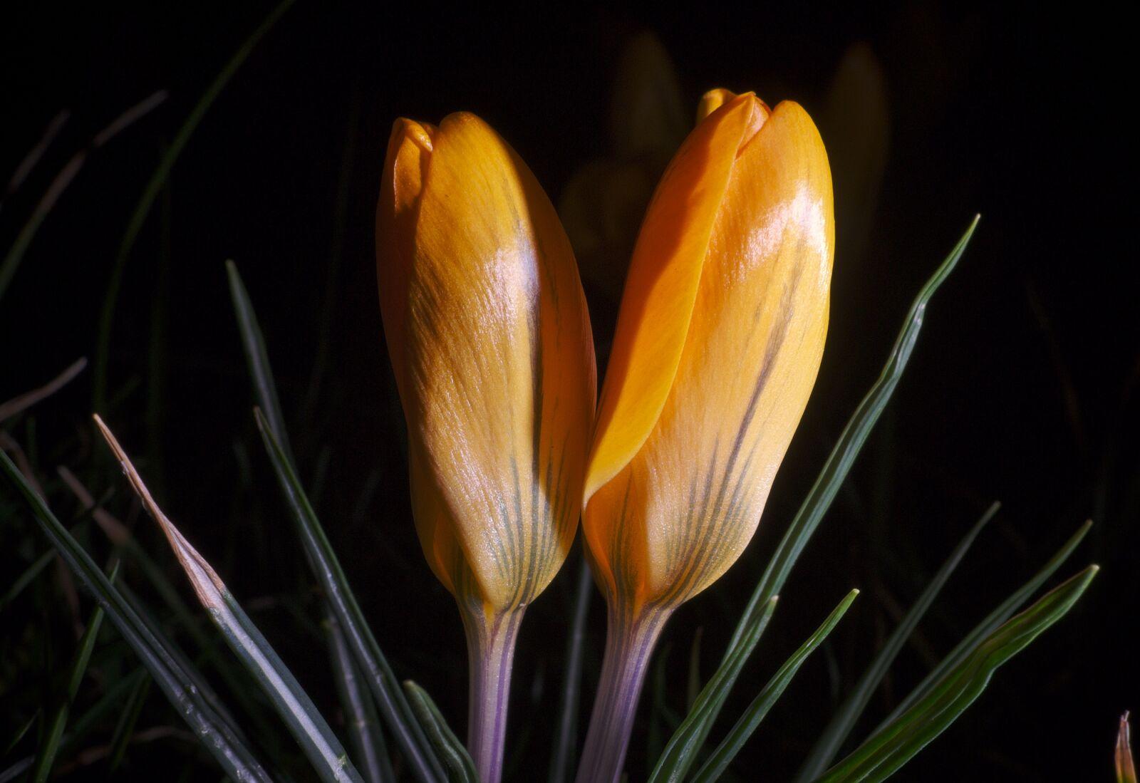 "Fujifilm X-E1 sample photo. ""Crocus, flowers, yellow"" photography"