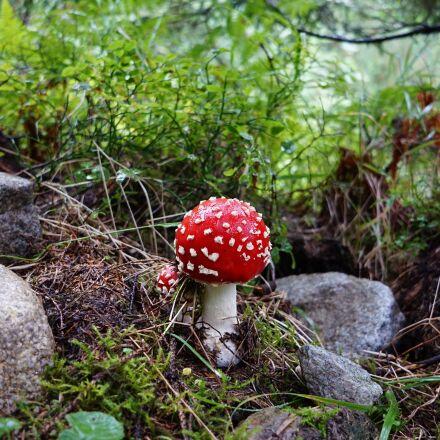 mushroom, forest, amanita, Sony ILCE-5000