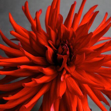dahlia, flower, arabian night, Canon EOS 1100D