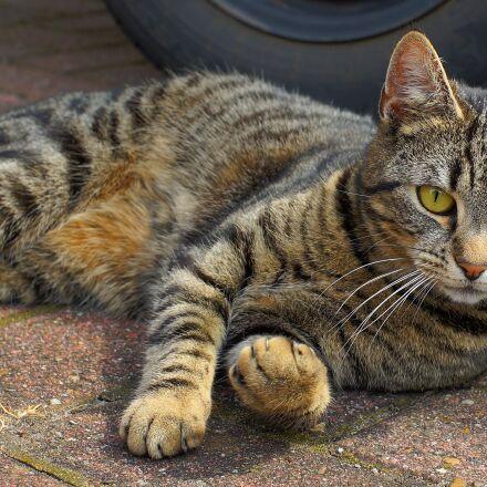 cat, domestic cat, female, Sony SLT-A99V