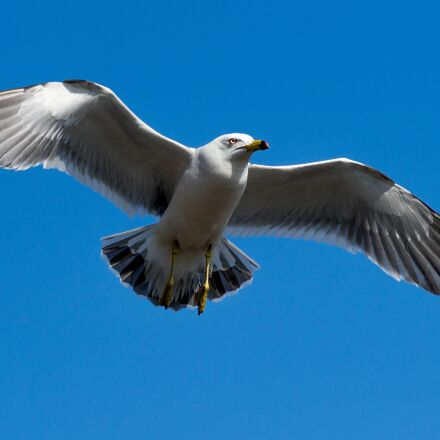 seagull, sky, blue, Sony SLT-A99V