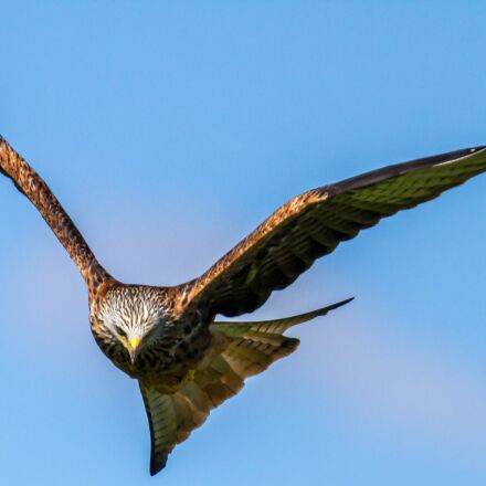 buzzard, raptor, bird, Canon EOS 7D