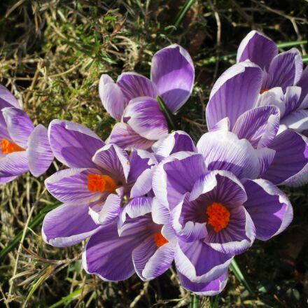 crocus, spring, purple, Canon IXUS 155