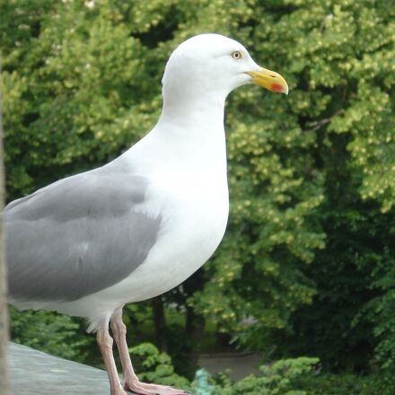 seagull, bird, close up, Sony DSC-P10