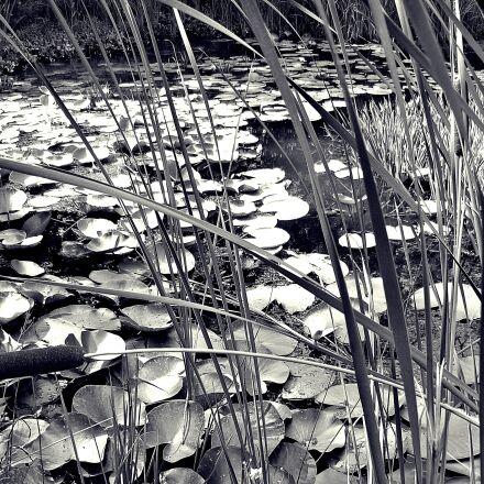 water lilies, pond, nymphaea, Panasonic DMC-FS10