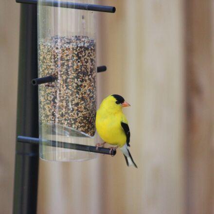 american goldfinch, spinus tristis, Canon EOS REBEL T3I