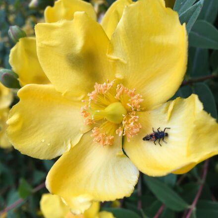 bug, yellow, flowers, Apple iPhone 6s