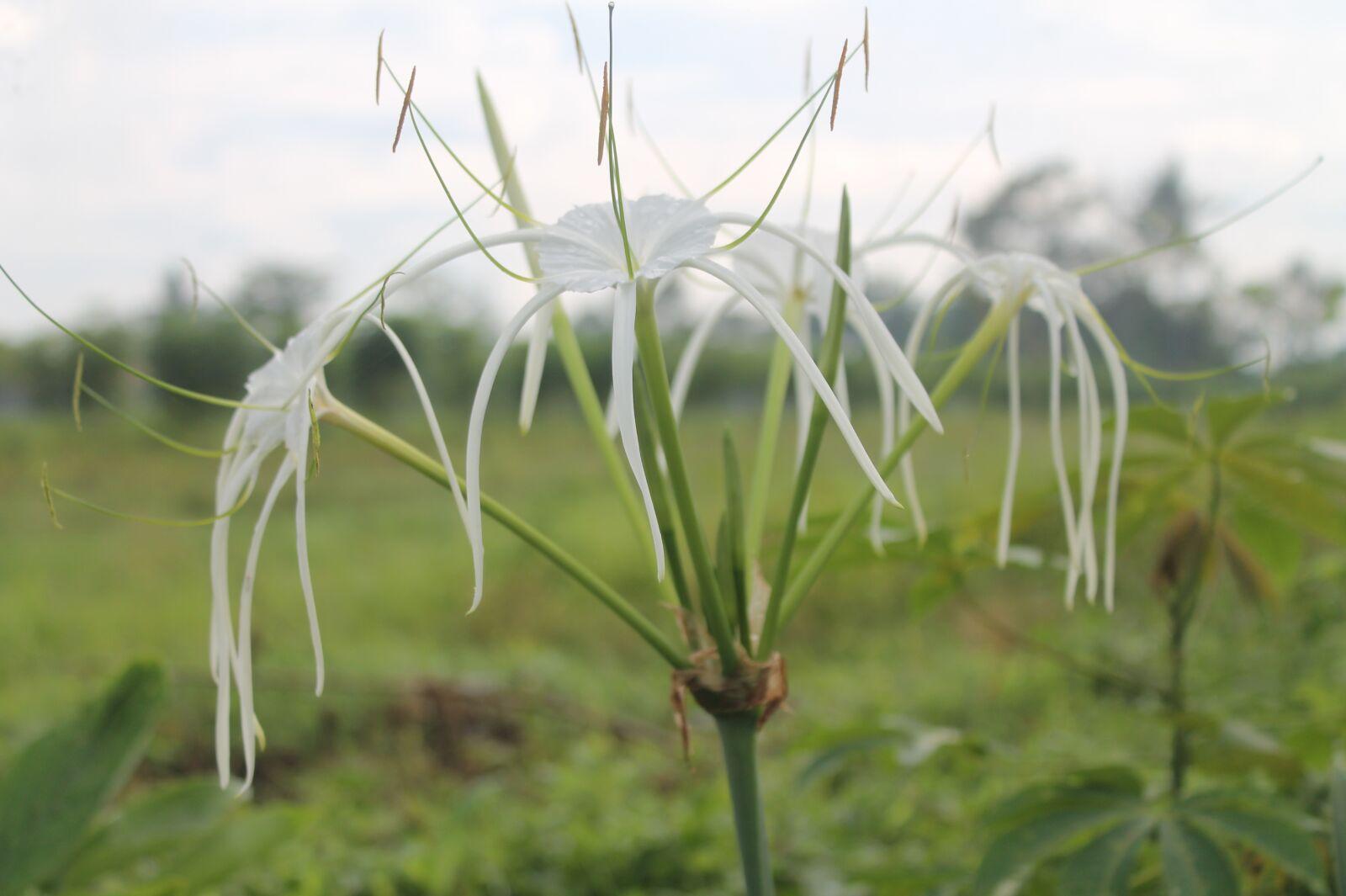 "Canon EOS 1100D (EOS Rebel T3 / EOS Kiss X50) sample photo. ""Flowers, white, plant"" photography"