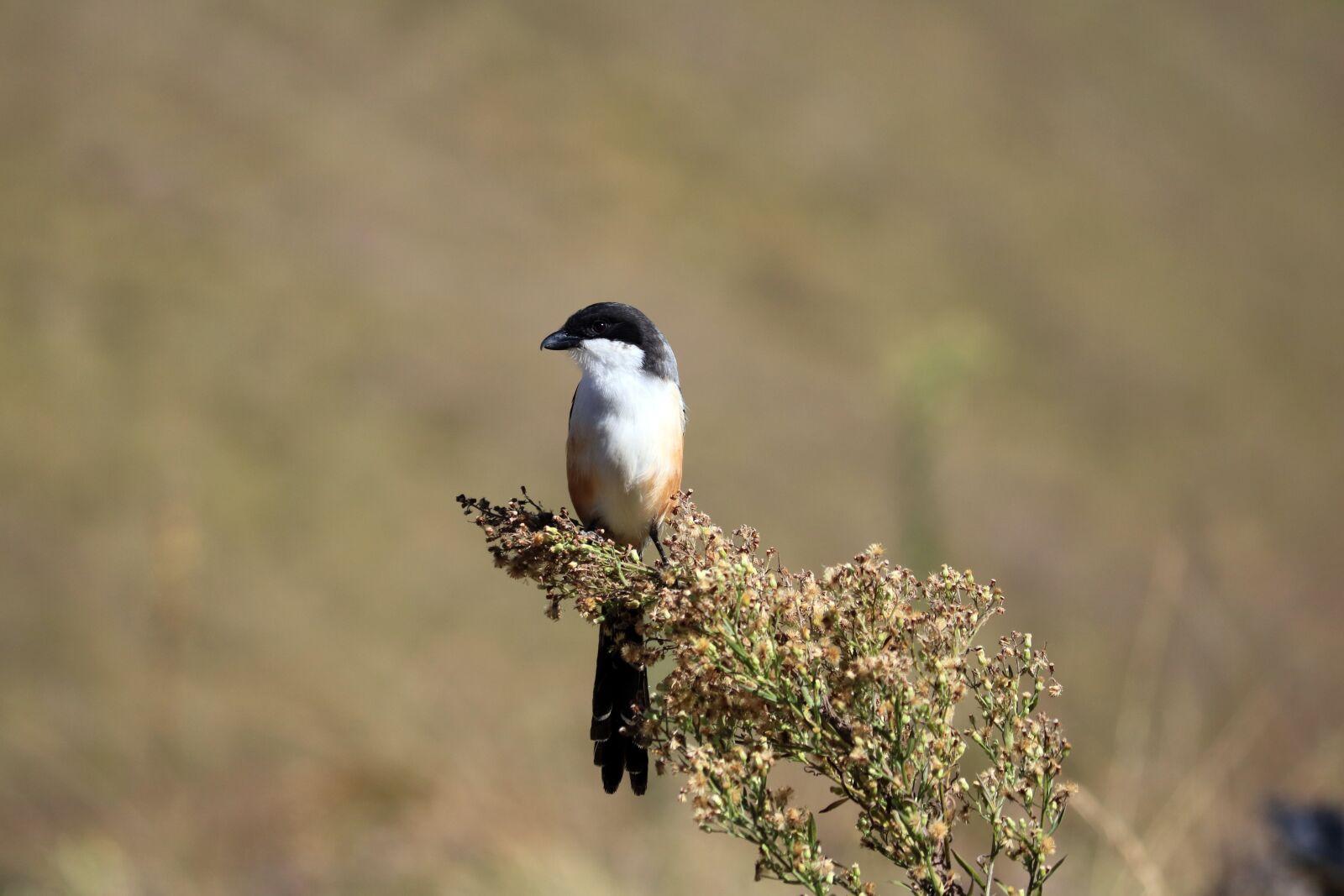 """Canon EOS 760D (EOS Rebel T6s / EOS 8000D) sample photo. """"Bird, perched, small bird"""" photography"""