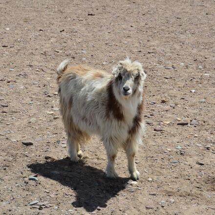 sheep, Nikon D5100