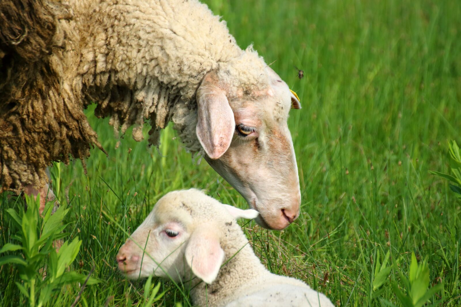"Canon EOS 70D sample photo. ""Sheep, wool, lamb"" photography"