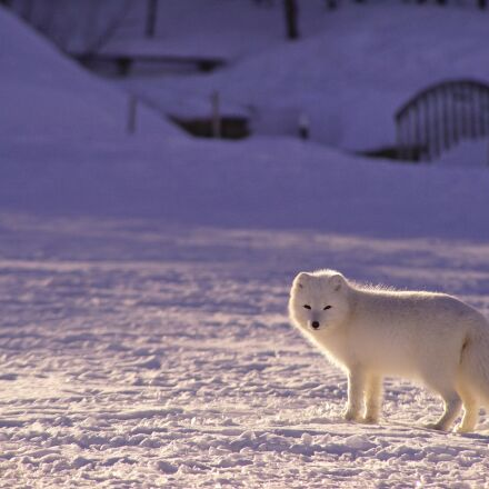adorable, arctic fox, animal, Sony ILCE-7R