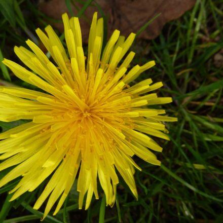 flower, yellow, spring, Panasonic DMC-TZ6
