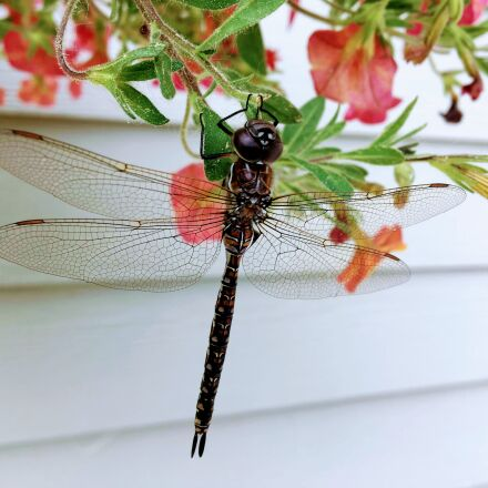 dragonfly, nature, insect, Apple iPhone 6s