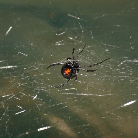 spider, black widow, venomous, Panasonic DMC-FX07