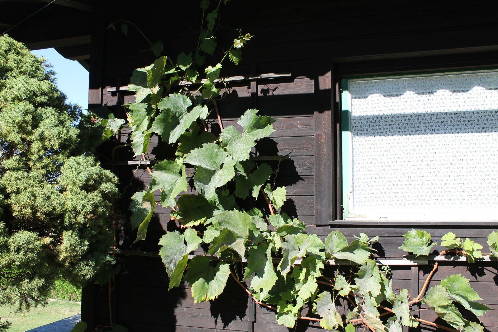 "Canon EOS 1100D (EOS Rebel T3 / EOS Kiss X50) sample photo. ""Vines, vine leaves, grapes"" photography"