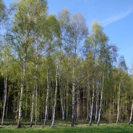 tree, forest, birch, Sony DSC-W210