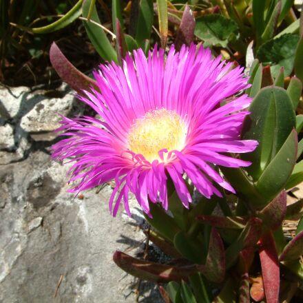 flower, purple, massif, Fujifilm FinePix S602 ZOOM