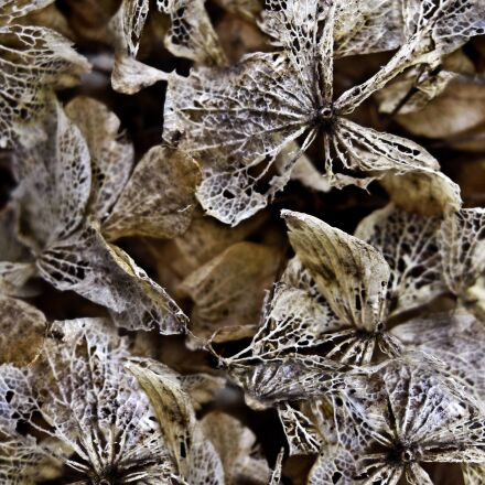 dried hydrangeas, background, texture, Canon POWERSHOT SD960 IS