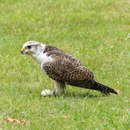 falcon, falconry, predator, Panasonic DMC-FZ300