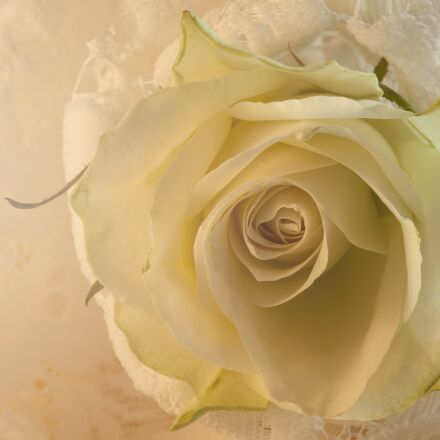 rose, white, lace, Canon EOS 5D MARK II