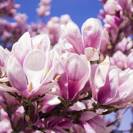 magnolia, flowers, pink, Sony ILCE-6300