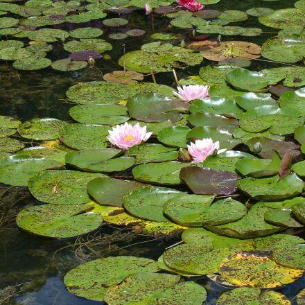 puddle, lotus, aqua table, Sony DSC-V3