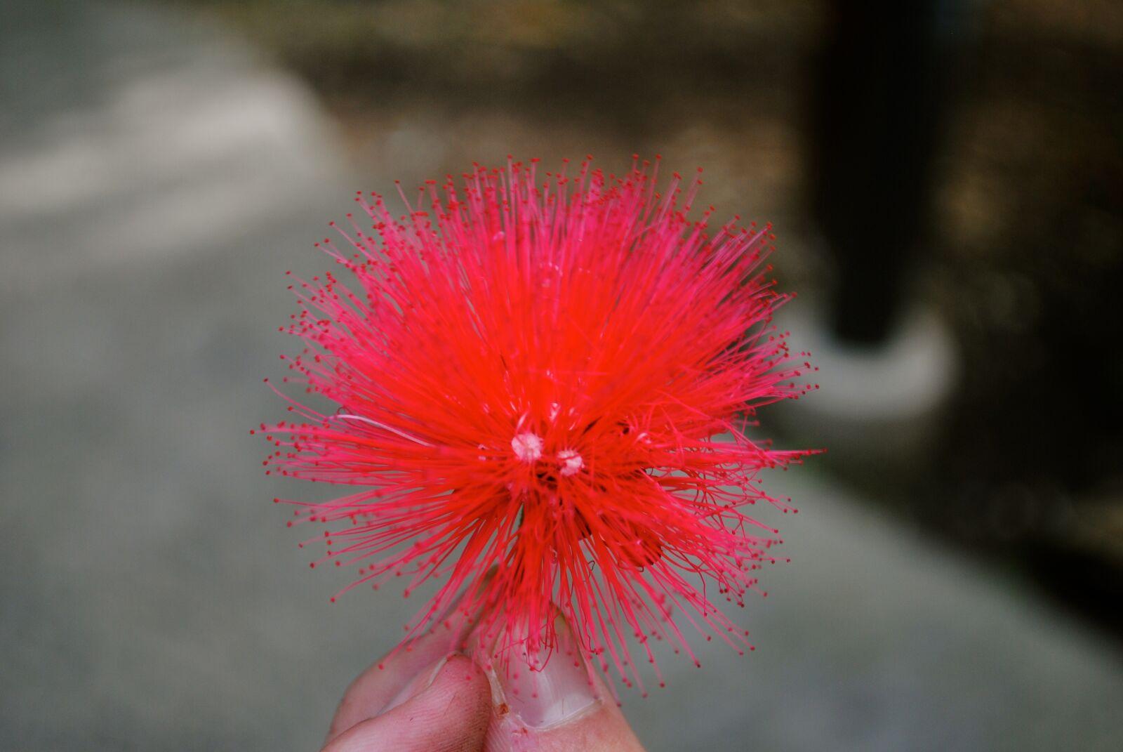 "Nikon D3000 sample photo. ""Cactus, pink, plant"" photography"