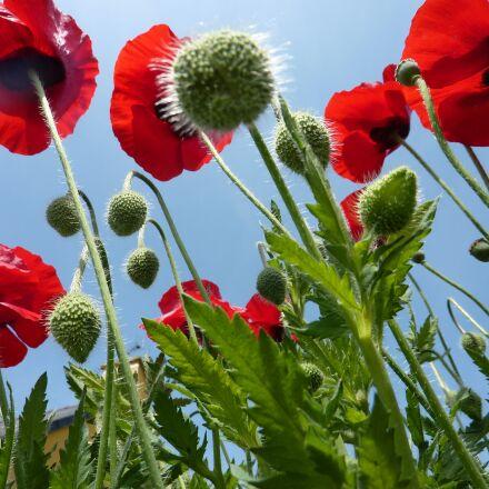 poppies, red, green, Panasonic DMC-TZ6