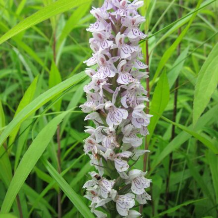 dactylorhiza, marsh orchid, spotted, Canon POWERSHOT A1200